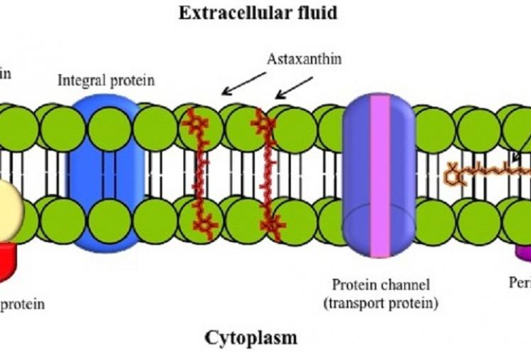 Figure 5: Schematic diagram of membrane bilipid structure