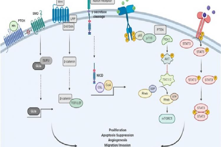 Signaling pathways involved in CSCs survival, maintenance and self-renewal