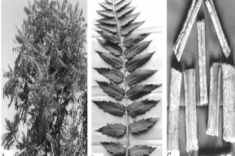 (A) Ailanthus excelsa tree, (B) Leaves, (C) Stem bark