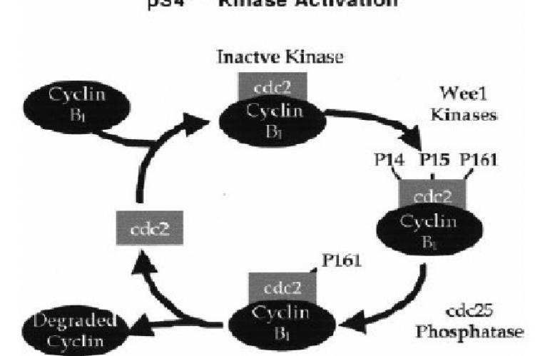 Illustration of the p34cdc2 kinase complex and the enzymes involved in its activation