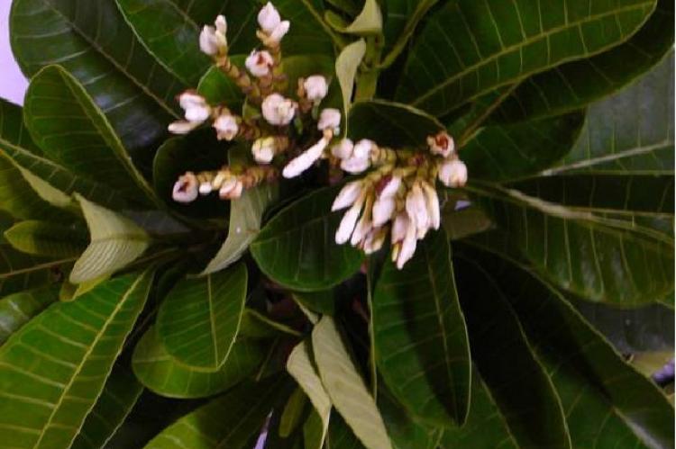 Flowering H. sucuuba stem