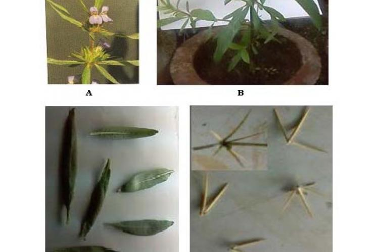Morphological characters of Hygrophila spinosa