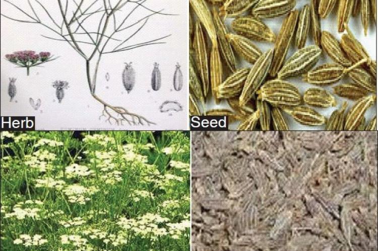 Cuminum cyminum,Carum carvi Herb Seed