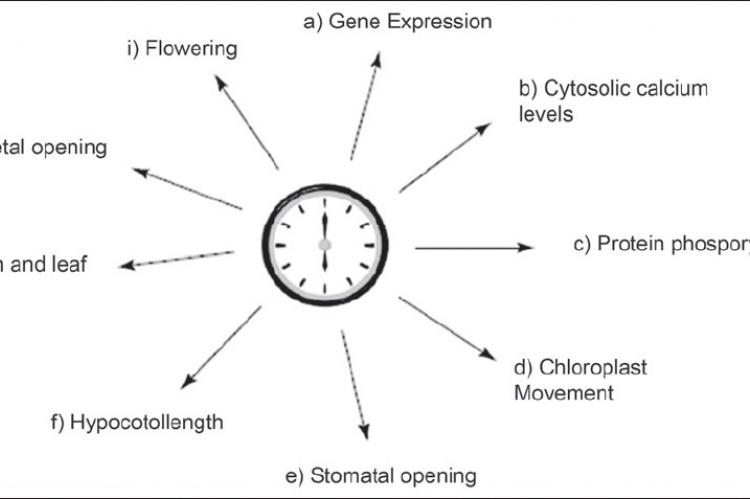 Plant clock controls a plethora of biological processes