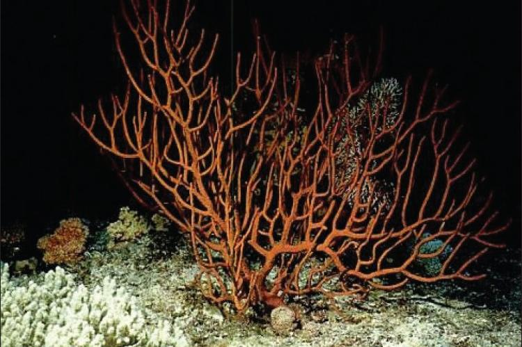 Subergorgia suberosa