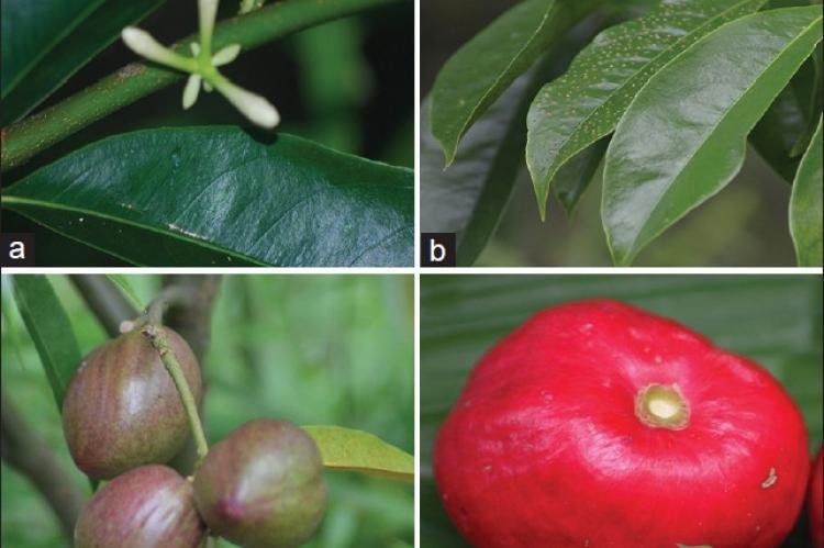 Botanical description of Phaleria macrocarpa showing a