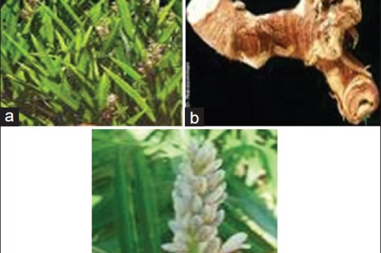 Different parts of Alpinia calcarata.