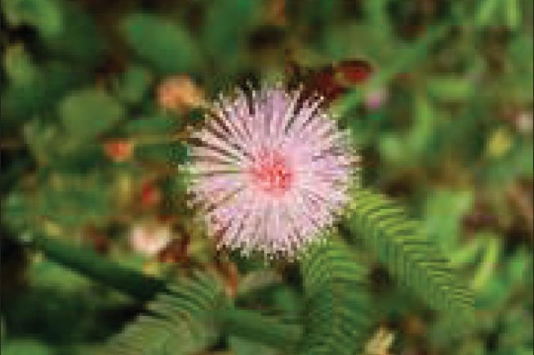 Mimosa pudica fl ower head
