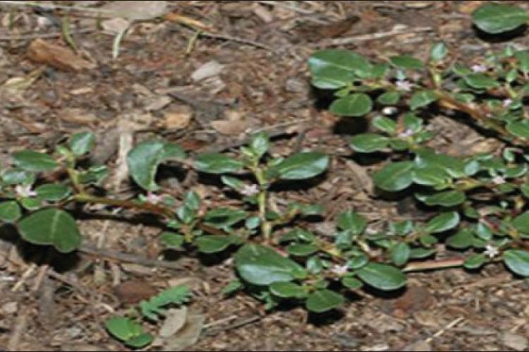 Whole plant of Trianthema portulacastrum L.