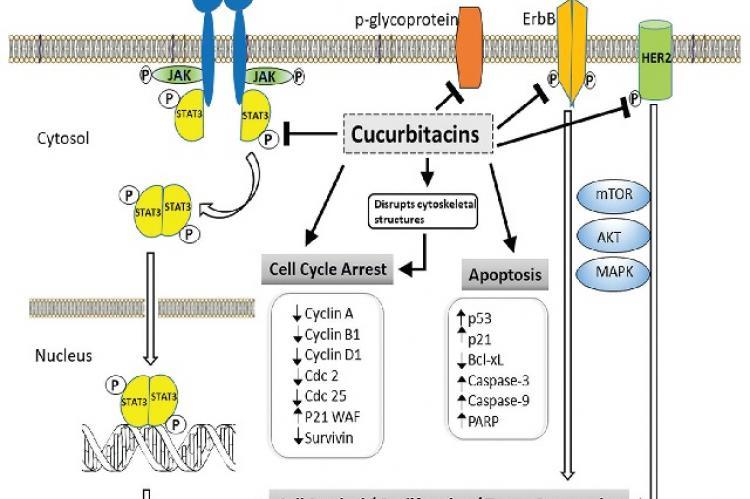 The mechanism of anticancer activities of cucurbitacins