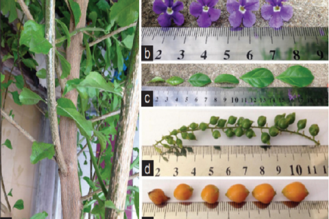 Gross morphology of Duranta erecta  (a) stems,  (b) flowers, (c) leaves, (d) immature fruits, and (e) mature fruits
