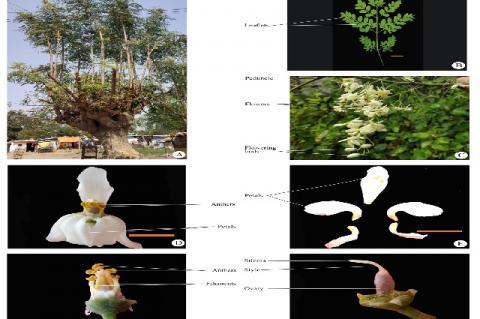 Moringa oleifera Lam. A. Habit of the plant; B. Leaf; C. Inflorescence; D. Flower; E. Petals; F. Stamens; G. Style and stigma