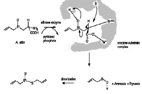 Pathway for the formation of allicin from alliin