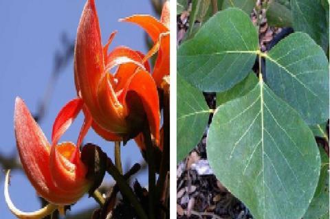 Butea monosperma (Lam.) Kuntze (A) – Flowers, (B) – Leaves