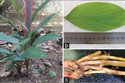 The morphology of Boesenbergia rotunda (a) stems, (b) leaves, and (c) rhizomes