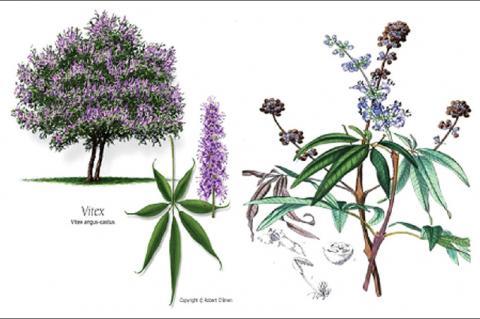 A schematic of Vitex agnus-castus tree