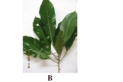 Lunasia amara shrub, (B) Leaves, (C) Branch with fruits (Photos courtesy of Ms. Xyza Templonuevo)