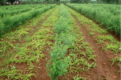 Intercropping in the field of Chlorophytum borivilianum