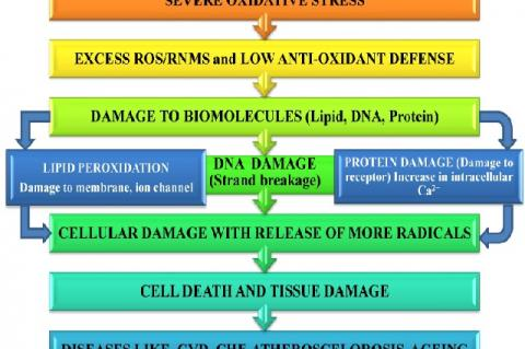 Flow chart showing responses and signals during oxidative stress