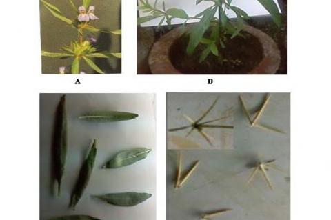 Morphological characters of Hygrophila spinosa