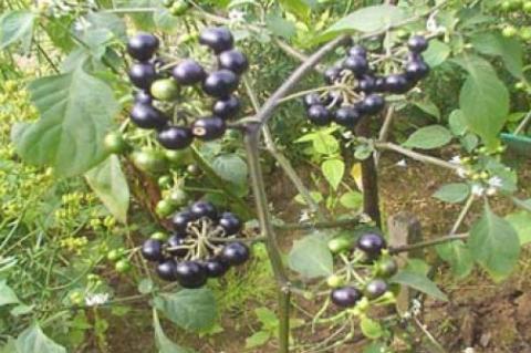 Whole plant of Solanum nigrum