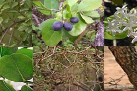 Stem, fruit, flower, leaf and bark of C.congesta