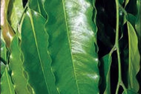 Leaves of P. longifolia