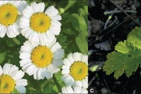 Feverfew (Tanacetum parthenium): whole plant (a), flower (b), and feathery leaves (c)