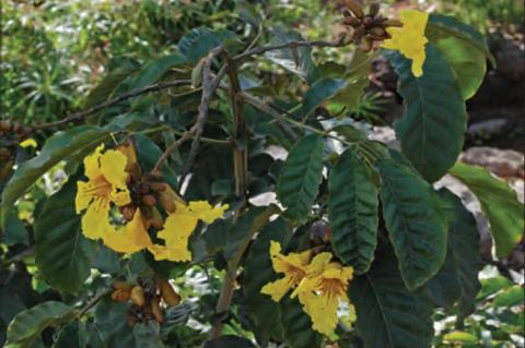 Markhamia lutea (Benth.) K.Schum
