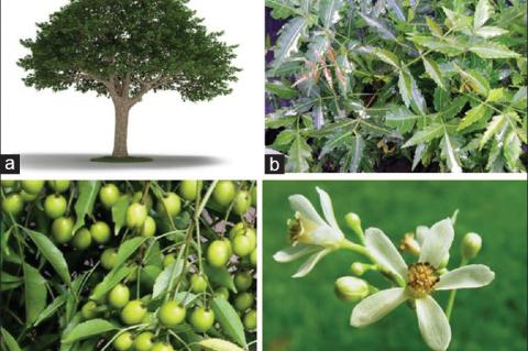 Neem tree and its different parts (Courtesy: Google images). (a) Neem tree, (b) Neem leaves, (c) Neem seeds, (d) Neem flower