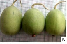 Figure 1: Cucumis melo var. agrestis, A-B: Fruit showing variation in morphology; C: Staminate and Pistilate flower