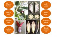 Pharmacological properties of Musa balbisiana and its different parts